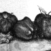 Apple Lithography Print