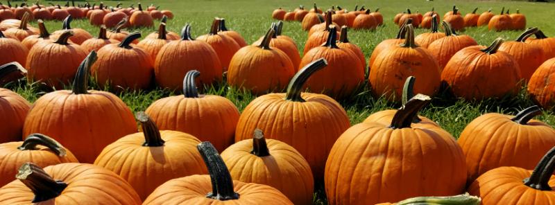 Pumpkin B1