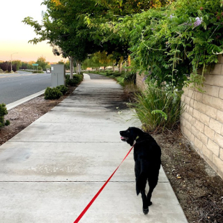 Dogwalk
